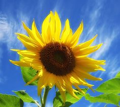 Looking up at a bright sunny yellow sunflower with blue sky and wispy clouds beyond. Image captured in New Hampshire.