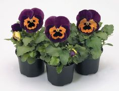 Check out the deal on Pansy Inspire+ PR Purple-Orange 250 seeds at Hazzard's Seeds Halloween Flowers, Perennial Vegetables, Ornamental Grasses, Petunias, Pansies, Indoor Plants, Perennials, Planter Pots, Seeds