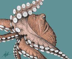 Google Image Result for http://www.wildpnw.com/wp-content/uploads/2011/01/Giant-Pacific-Octopus-by-Ivan-Phillipsen.jpg