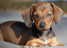 Beautiful Mini Dachshund #ears #dog #puppy #dachshund #cute #sweet #animals #pets