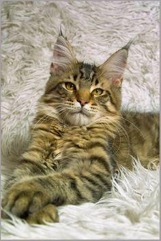 кот из питомника Volgo-Don-Coon Indigo Volgo-Don-Coon