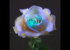 own flowers: Scientists create secret formula to make plants fluorescent Scientist in UK have created real flowers that are fluorescent.Scientist in UK have created real flowers that are fluorescent. Dark Flowers, Unusual Flowers, Real Flowers, Amazing Flowers, Beautiful Roses, Beautiful Flowers, Glowing Flowers, Unique Roses, Night Flowers