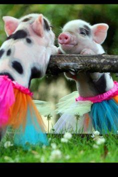 Teacup pig it is a little ballerina    SQUEELLLLLLLLLLLLLLLLLLLLL (that is me squeeling not the pig)