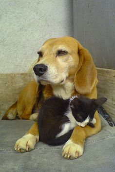 Beagle and kitten by Claudio Matsuoka