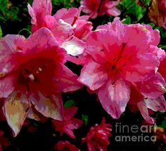 Beautiful image of these Azalea's by Sally Simon