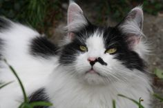 Maine Coon, Black Solid & White (n 09). R&S Defeny Divah Maine Coon Kittens, Cats And Kittens, Kitty Cats, Bengal, Black And White, Animals, White Cats, Black White, Animales