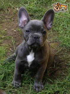 Blue French Bulldog puppies (females) for sale! | Gosport, Hampshire | Pets4Homes