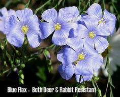 Doubt I have to worry about deer eating my plants but rabbits? Yes. List of plants good for Colorado gardens.