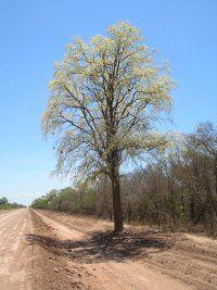 """El Palo santo, es uno de los árboles más emblemáticos de la región del Chaco seco en Paraguay. El aceite esencial conocido como """"guayacol"""" se extrae de su madera y es utilizado en la industria del perfume."""