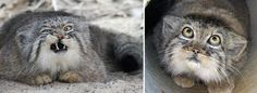 These Pictures Prove The Manul Cat Has The BEST Facial Expressions In The World