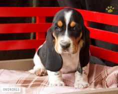 Snickers the Basset Hound Puppy for Sale