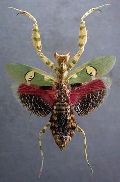 """""""Many colors of Flower Mantis (order Mantodea, family Hymenopdidae, Creobroter gemmatus), allow it to hide in flowers where it hunts Name means """"jeweled flesh eater"""" Preys on other insects Found in rainforests of Asia Lives: 1 yr 📷James H. Cool Insects, Bugs And Insects, Beautiful Bugs, Amazing Nature, Reptiles, Beautiful Creatures, Animals Beautiful, Animals Tattoo, Mantis Religiosa"""
