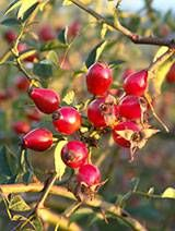 How to Make Rosehip Oil. Rosehip oil is considered one of the most effective skin regeneration and care products. It has revolutionised the world of cosmetics and is prized above all else to nourish the dermis, fight wrinkles. Beauty Care, Beauty Hacks, Infused Oils, Rosehip Oil, Exotic Plants, The Balm, Essential Oils, Fruit, Flowers