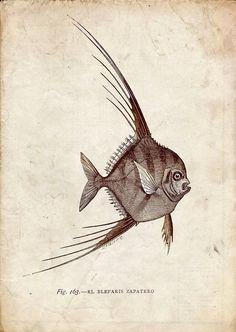 Fish Print Blepharis Natural History Restored Image by carambas, $12.00