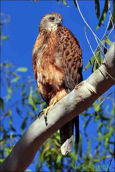 Red Goshawk (Erythrotriorchis radiatus) is probably the rarest Australian bird of prey.