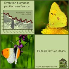 #Papillons #insectes #InsectHotel #insecte #nature #biologie #animal #animaux #faune www.InsectsHotel.com
