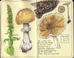 From the nature journals of Sandy Williams over at Sketching in Nature...mushrooms   http://naturesketchers.blogspot.com/search/label/flowers