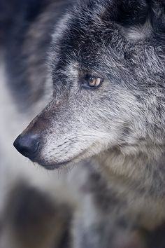 Wolf 12 | Flickr - Photo Sharing!
