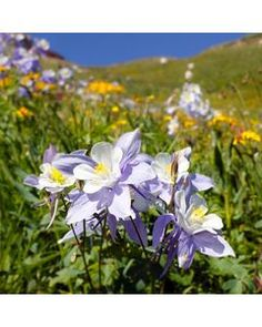 Native West Wildflower Seed Mix is the perfect combination of 15 different annual and perennial wildflowers for the Rocky Mountain region. High Country Gardens, American Meadows, Indian Blankets, Bulb Flowers, Flowers Nature, Wildflower Seeds, Unique Plants, Evening Primrose
