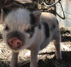 I fucking love you SO MUCH you don't even know! Tiny Pigs, Small Pigs, Pet Pigs, Animals And Pets, Baby Animals, Cute Animals, Micro Mini Pig, Miniature Pigs, Cute Piglets