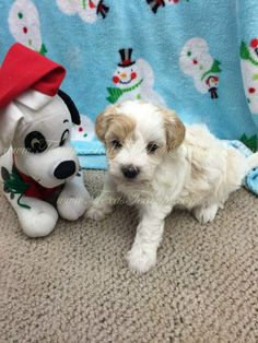 Maltipoo puppy for sale in Texas. Maltipoo Puppies For Sale, Toy Dog Breeds, Dog Toys, Texas, Animals, Animales, Animaux, Animal Memes, Animal