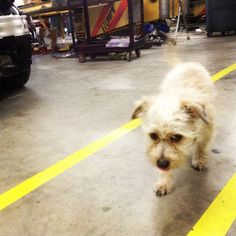 Buster taking a stroll in the shop.
