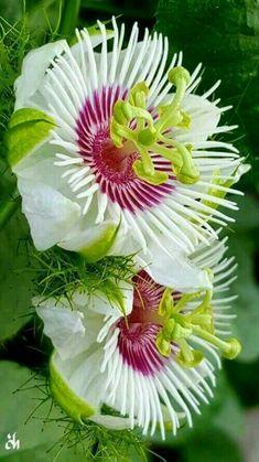 Amazing Unusual Plants To Grow In Your Garden Strange Flowers, Unusual Flowers, Rare Flowers, Amazing Flowers, Beautiful Flowers, Orquideas Cymbidium, Unusual Plants, Passion Flower, Tropical Flowers