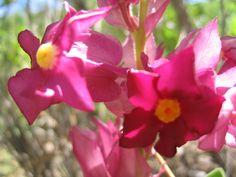 Flores da Serra. Prestonia erecta.