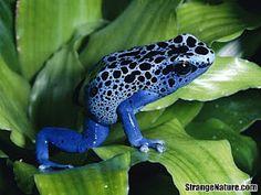 Blue Poison Frog (Poison Dart Frog)