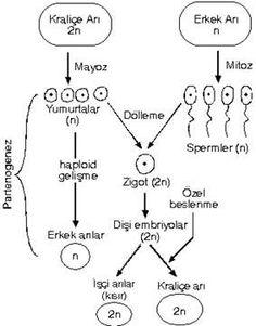 partenogenez