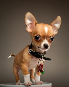 We love Chihuahuas --thought of my Baby girl who had to have one. Now, guess who has it since shes in college???