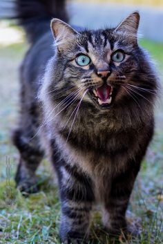 Norwegian forest cat                                                                                                                                                                                 More