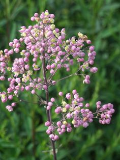 Thalictrum 'Elin' by Avondale Nursery, via Flickr Use with Seseli libanotus? Piet Oudolf Top 100.