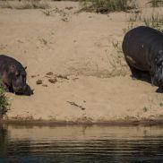 Tracking Instincts | krazywithtravel African Wild. Sabi Sand. Kruger National Park. Hippopotamus Summit Lake, Working Blue, Spring Lake, Kruger National Park, Hippopotamus, African Safari, Narnia, Wildlife, Track
