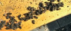 The CELESTIAL Convergence: MASS ANIMAL/FISH/BIRDS/BEES DIE-OFF: Latest Incidents Across The Earth - Millions Of Bees Found Dead along The Rhine River In Germany