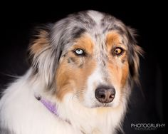 Kiera - Portrait - I met this beautiful dog last week at Dallas Road. Kiera is a 5 yea old Australian Shepherd. It was a hot day and Kiera was in the back of her owners pick-up truck. I snapped this quick photo as i was passing by.