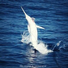Extremely rare albino blue marlin - Amarlinis a fish from the familyIstiophoridae, which includes about 10 species. It has an elongated body, aspear-likesnoutor bill, and a long, rigiddorsal finwhich extends forward to form a crest. Itscommon nameis thought to derive from its resemblance to a sailor'smarlinspike.Even more so than their close relatives, thescombrids, marlins are fast swimmers, reaching speeds of about 80km/h (50mph)