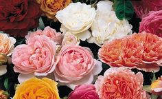 HISTORY IN YOUR GARDEN: English rose (Rosa 'Constance Spry ...