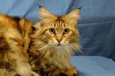 Tiarra is an adoptable Maine Coon Cat in LaGrange Park, IL. Hi, Thanks for checking me out. I'm new to the shelter. The staff is getting to know my personality and evaluating my health,so they can tel...