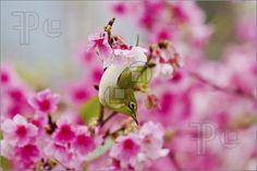 cherry blossom bird - Google Search