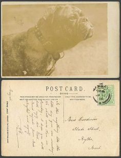 Bulldog Bull dog Puppy Not a Grecian Nose 1906 Old Real Photo Postcard J. Walker. Pinned by Judi Crowe.