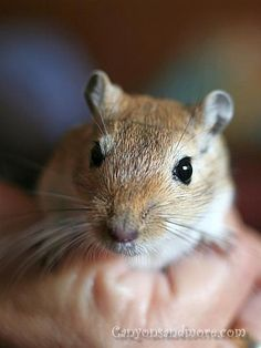 Gerbil - What a sweet face!