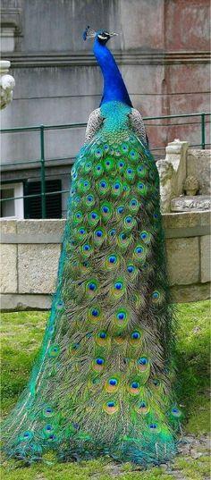 Pretty peacock Onweerstaanbaar mooie dieren.