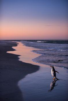 Gentoo Penguin, Sea Lion island, Falkland Islands