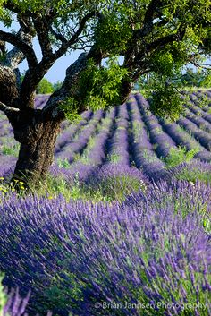 Lone tree in lavender field, Provence France