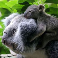 A koala joey hangs on his mother Eola after a weighing procedure at the zoo in the western German city of Duisburg. The koala baby, born in July last year, weighs 350 grams and is yet to be named Baby Koala, Cute Baby Animals, Funny Animals, Photo Animaliere, Australian Animals, Tier Fotos, Nature Animals, My Animal, Animal Kingdom
