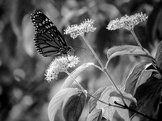 Monarch on white flowers down by the river in monochrome.