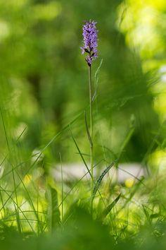 Dacytorhiza fuchsii | Fuchs' Fingerwurz