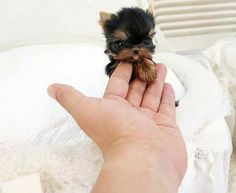 26 Teeny Tiny Puppies Guaranteed To Make You Say Awww! Question: Who loves tiny puppies? Correction: Everyone! Everyone loves tiny puppies! Baby Animals Super Cute, Cute Baby Dogs, Cute Little Animals, Cute Funny Animals, Cute Babies, Cute Small Dogs, Tiny Baby Animals, Funny Dogs, Fluffy Animals