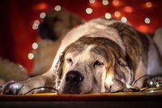 Domácí mazlíčci Dog Christmas Presents, Dog Christmas Pictures, Christmas Animals, Christmas Dog, Christmas Wishes, Friday Dog, Dog Breed Info, Dog School, Dog Salon